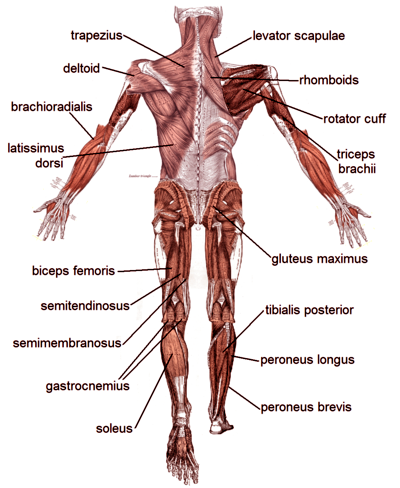 Wow  Just Look  Muscle Diagrams Of Major Muscles Exercised In