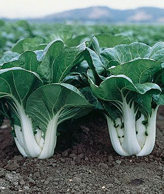 Chinese Cabbage Pak Choi Joi Choi Hybrid Growing Vegetables