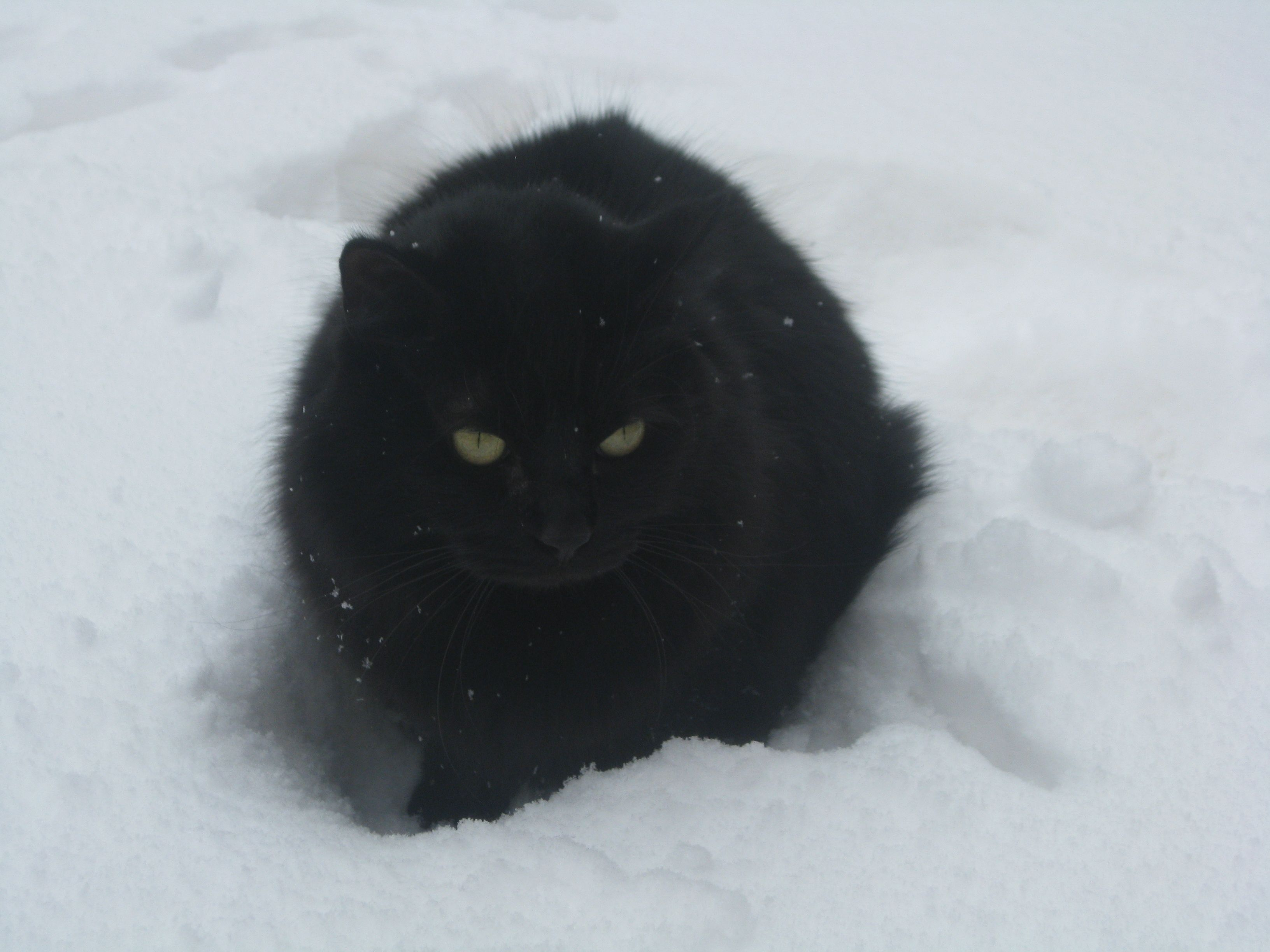 our cat on a snowy day<3