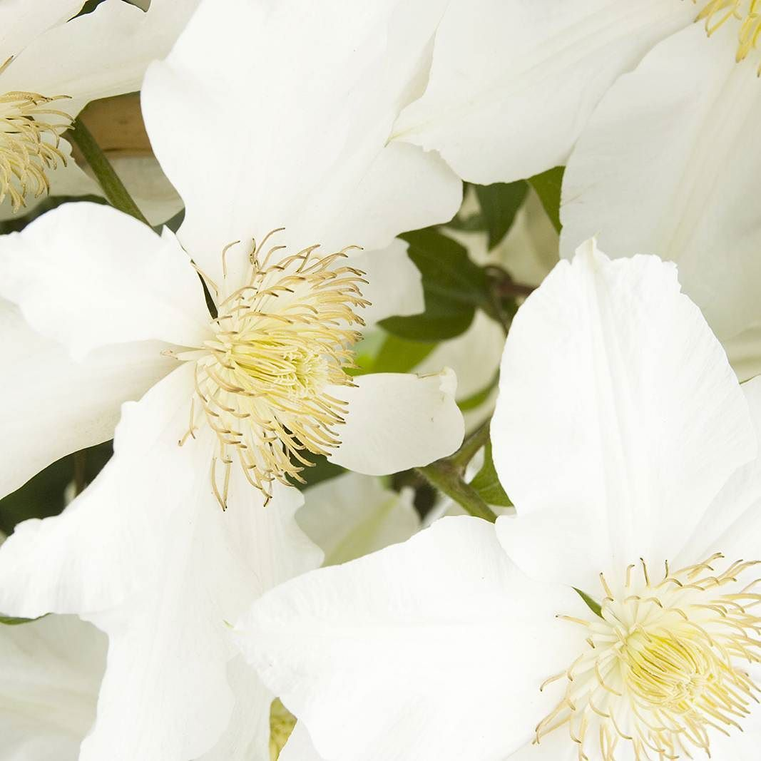 Those Stamens Shown Toki Clematis Zones 4 9 Large Pure White