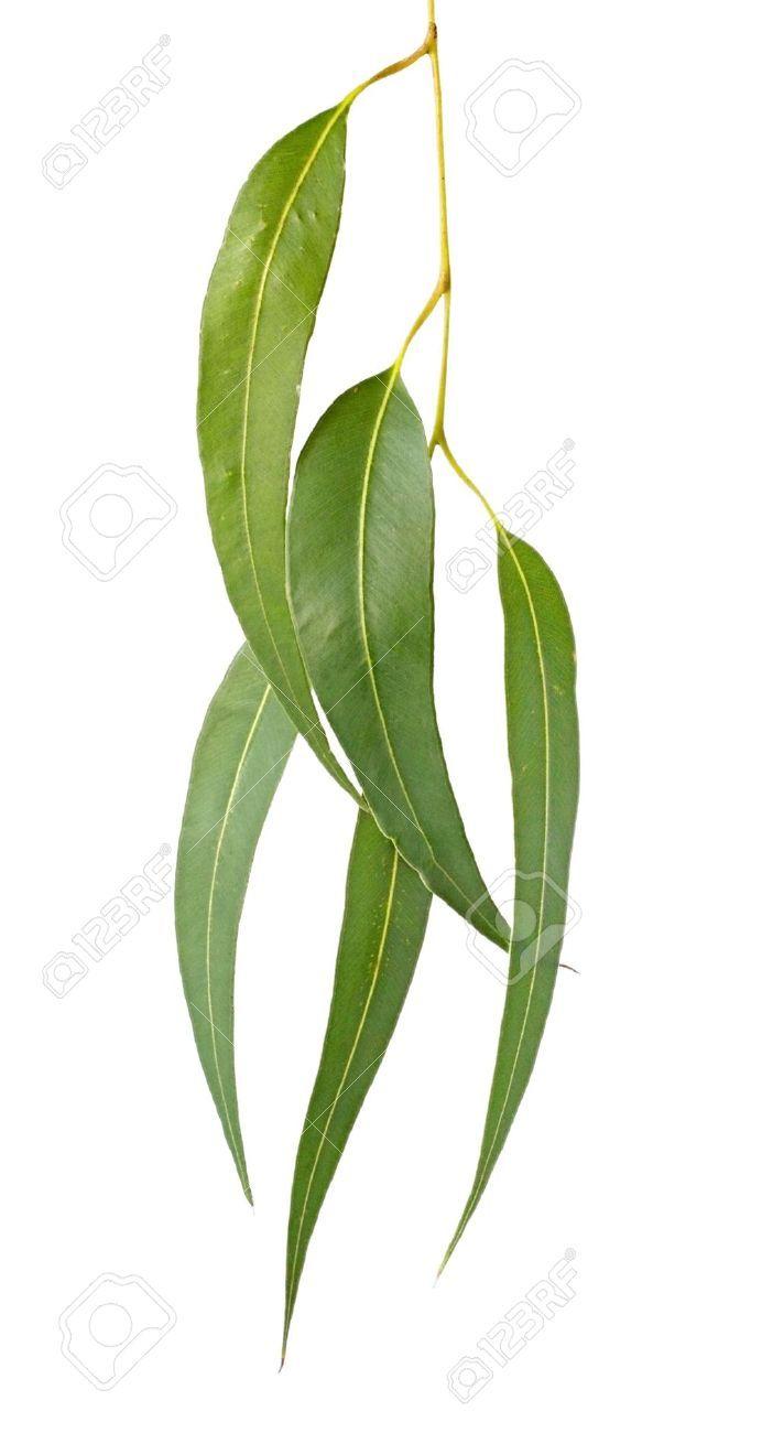 2484011 Gum Leaves Isolated On White Eucalyptus Tree Leaves Make A Graceful Design Element Stoc Leaf Nature Australian Native Flowers Australian Native Plants