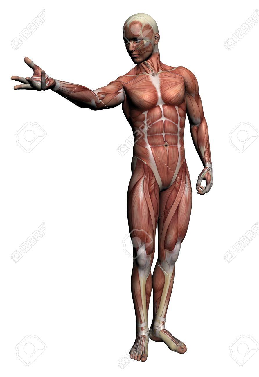 Anatomie Humaine - Muscles Masculins Faites Dans Un Logiciel 3D ...