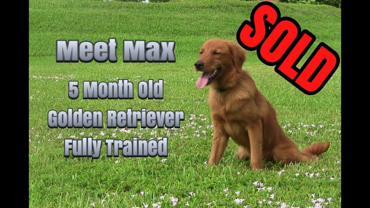 Trained Golden Retriever For Sale Golden Retriever Training