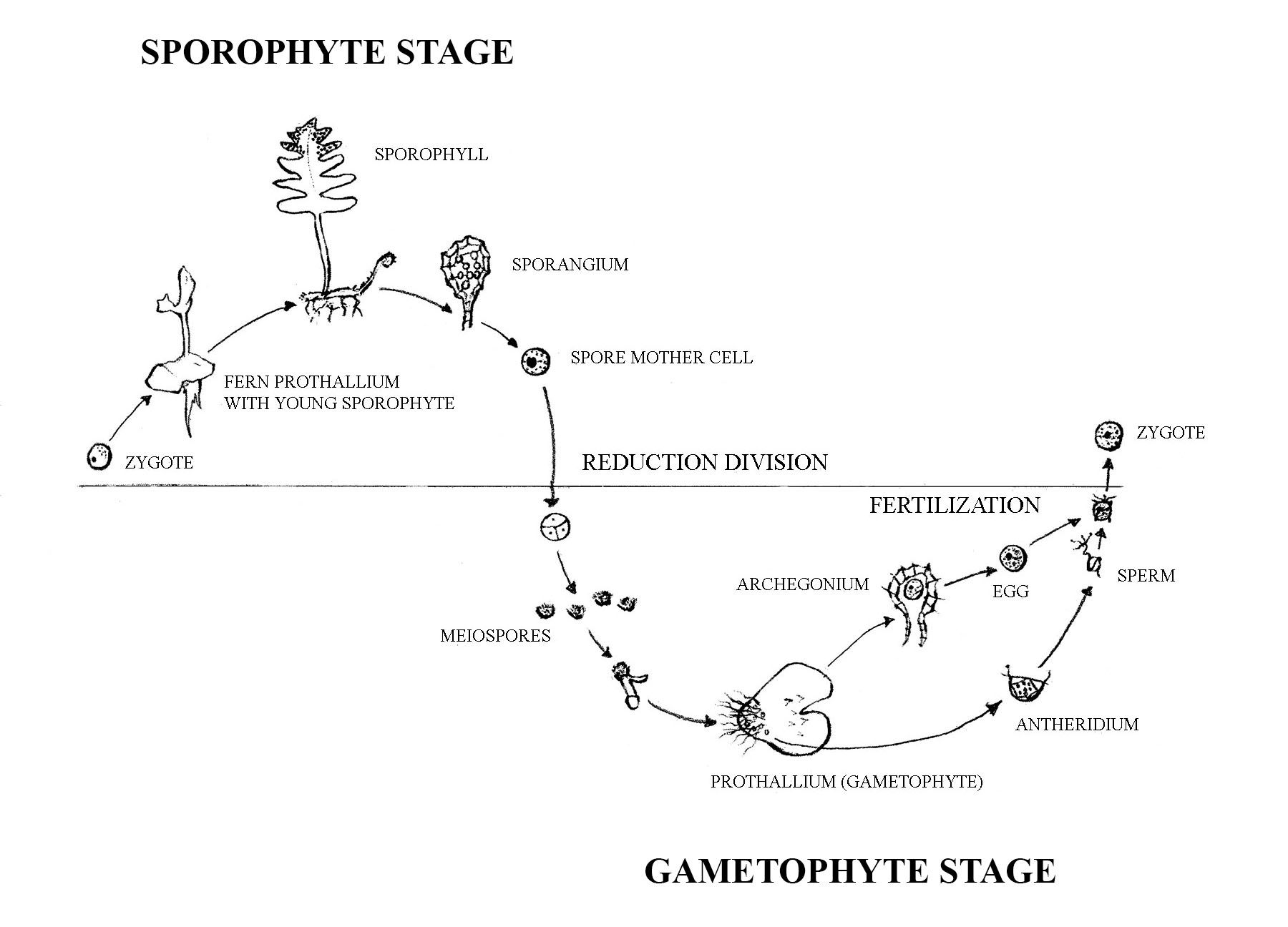 Fern Life Cycle Sporophyte Stage Zygote To Fern Prothallium With Young Sporophyte To Sporophyll To Sporangium To Spore Mother Cell Gametophyte Stage R Vaxter