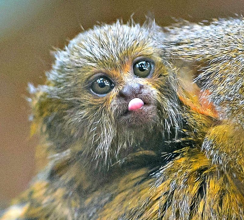World's Tiniest Monkey Species Born at Chester Zoo
