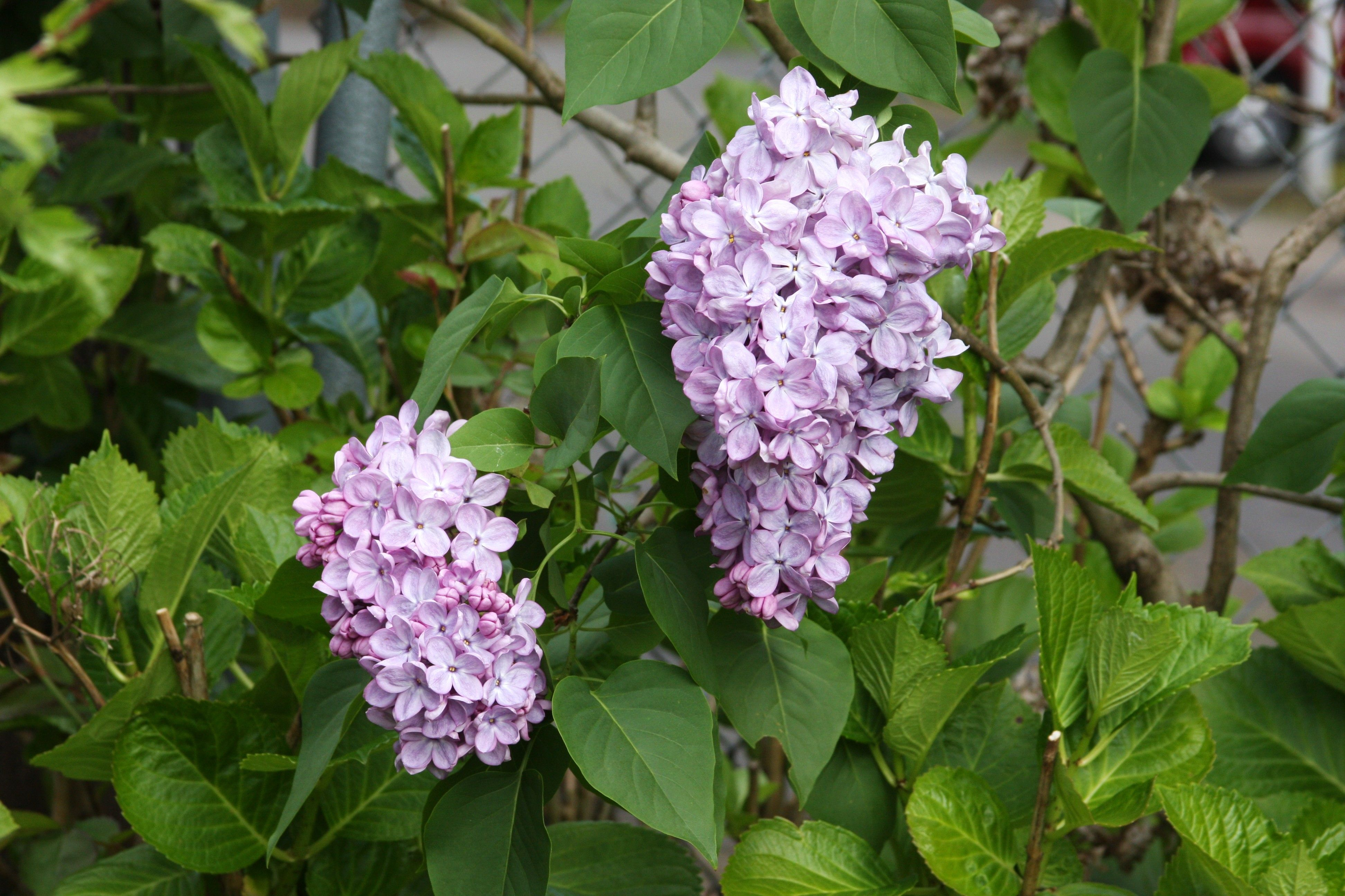 Lilacs.  Secret garden, Vancouver, WA.  05/2014.
