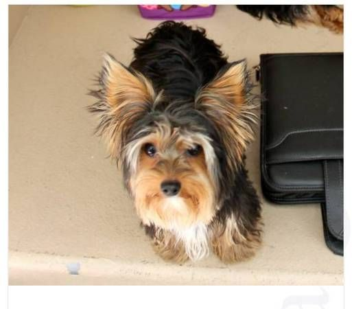 Missing Yorkie Osito East Palmdale Missing 3 Year Old Yorkie Named Osito He Was Wearing A Red Collar Is Microchipped Plea Yorkie Red Collar Pictures