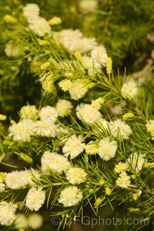 Pin By Country Farm Garden On Acacia Wattles In 2020 Spring Flowers Photo Shrubs