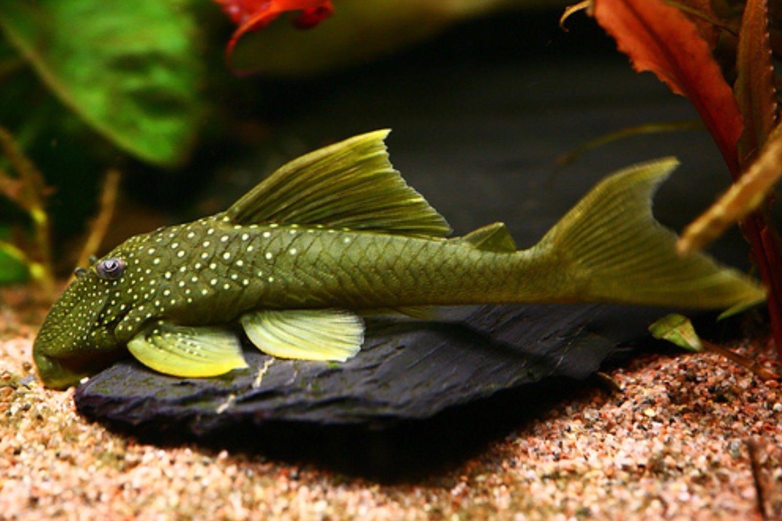 L200 Green Phantom Pleco Aquarium Fish Pleco Fish Aquarium Catfish