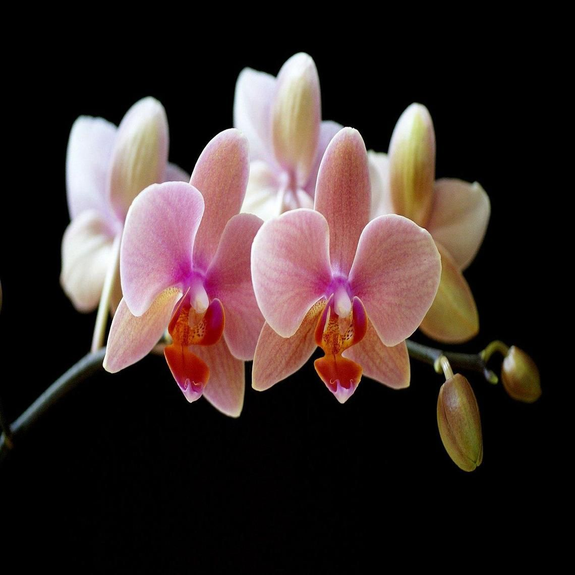 Pretty orchids Moth orchid, Orchid wallpaper, Orchids