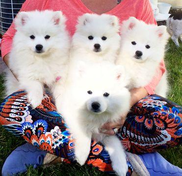 American Eskimo Dog Toy Puppy For Sale In Sandy Ut Adn 46931