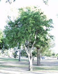 Celtis Reticulata Netleaf Hackberry Deciduous Native Shade Tree With Small Red Fruit Trunk Is Bumpy Unruly Wh Desert Landscaping Shade Trees Trees To Plant