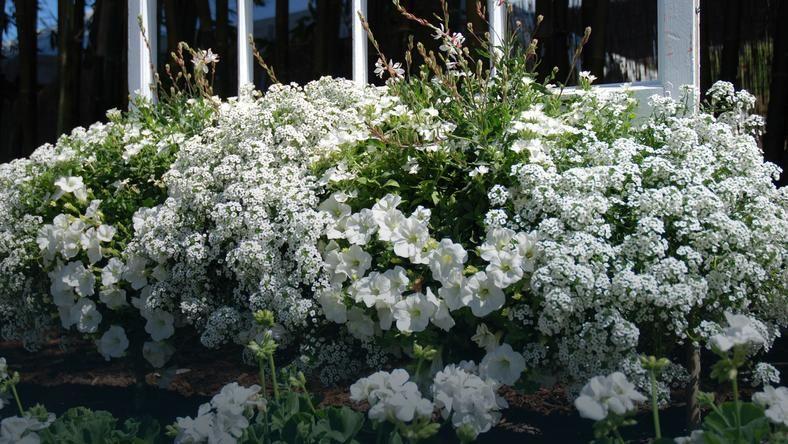 Piec Kwiatowych Nowosci Na Balkony Tarasy I Rabaty With Images
