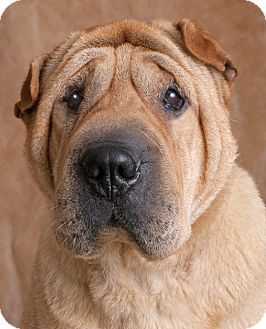 Chicago Il Shar Pei Meet Queenie A Dog For Adoption Http Www Adoptapet Com Pet 17147243 Chicago Illinois Shar Pei Pets Dog Adoption Shar Pei Dog