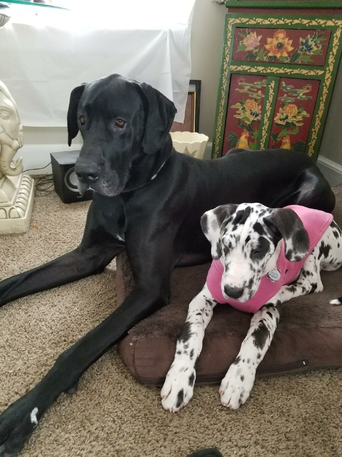 Z And Hq Cute Dogs Great Dane Doggy