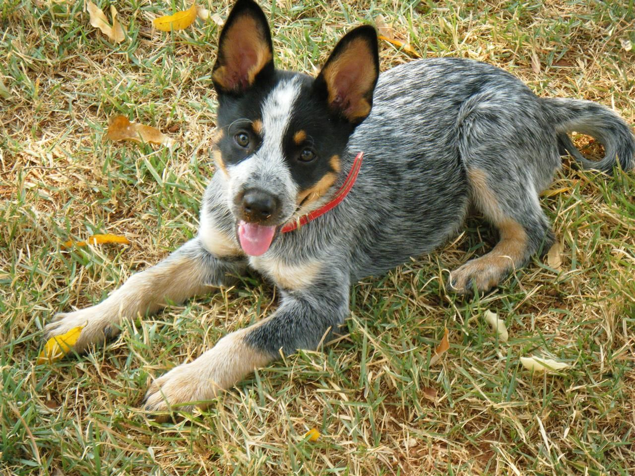 The Awkward Teenage Years Big Ears Big Paws Blue Heeler Puppies Heeler Puppies Cattle Dogs Rule