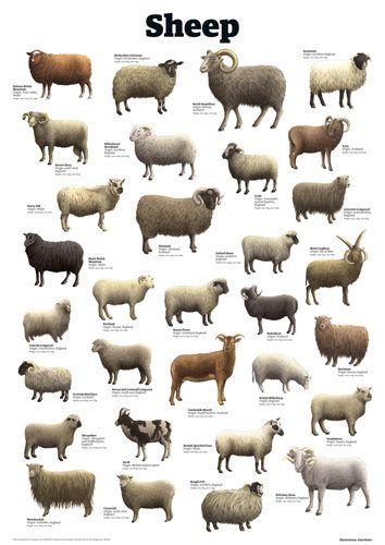 Pin On Sheep Thrills