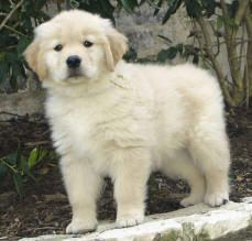 Dfw Golden Retriever Breeders Dallas Fort Worth Texas