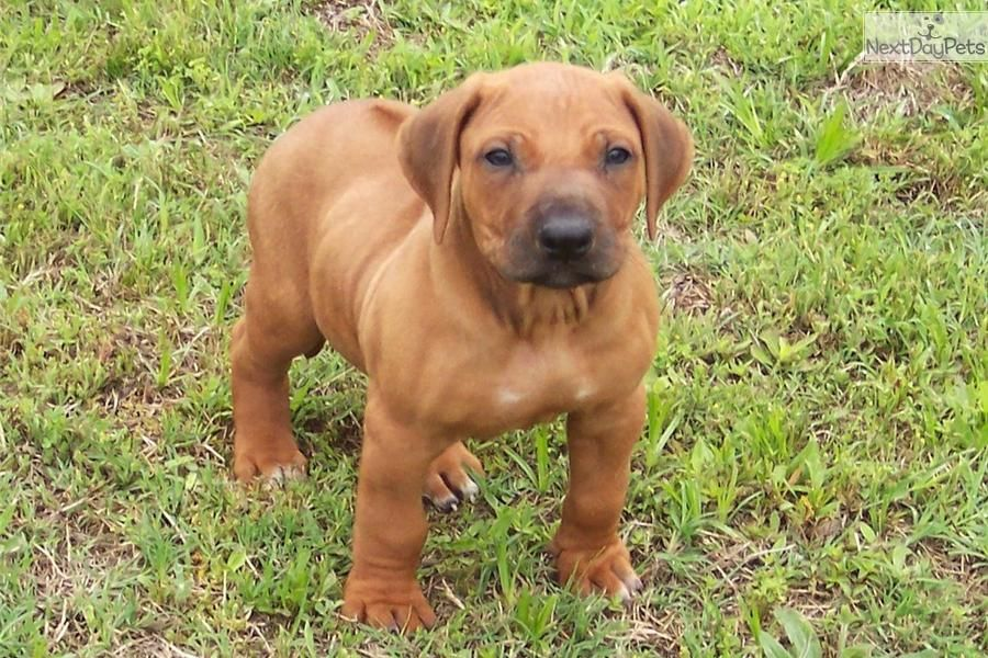 Rhodesian Ridgeback Puppies For Sale Rhodesian Ridgeback Puppies