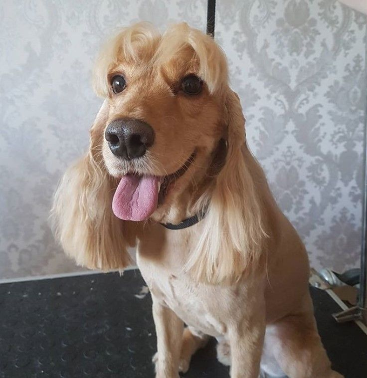 20 Best Cocker Spaniel Haircuts For Your Puppy Page 4 The Paws In 2020 Cocker Spaniel Haircut Cocker Spaniel Grooming Dog Haircuts