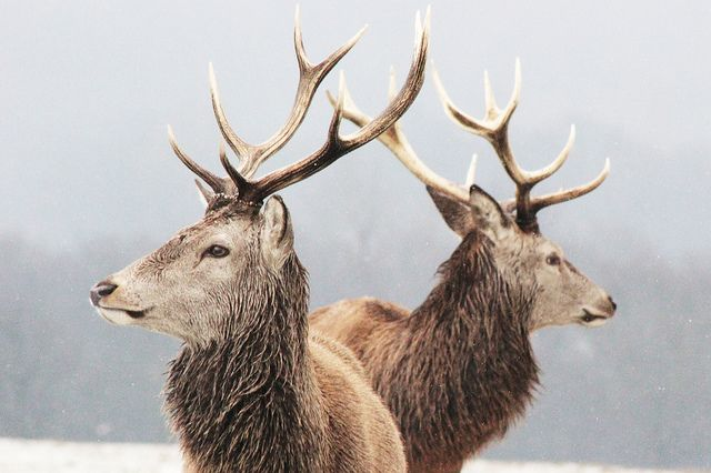 Stags in the snow by JoshHamUK