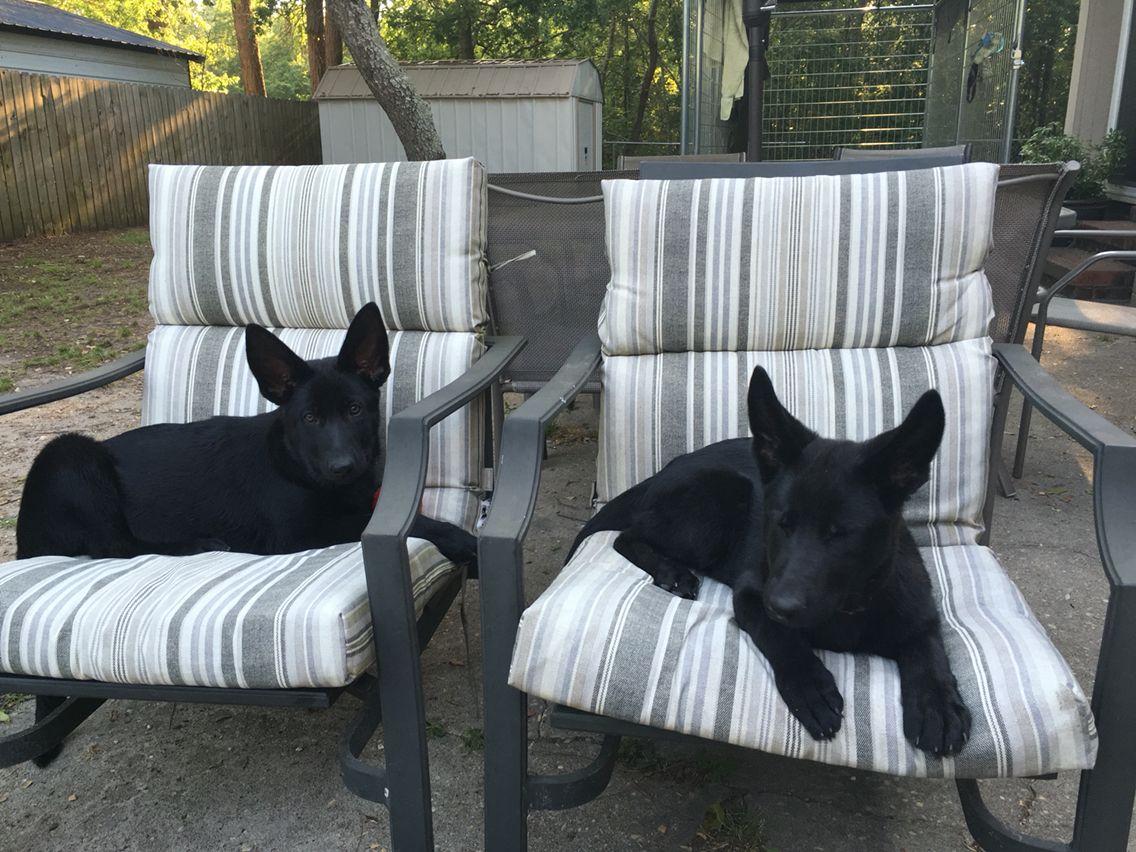 Gsd puppiesjust relaxin black german shepherd dog