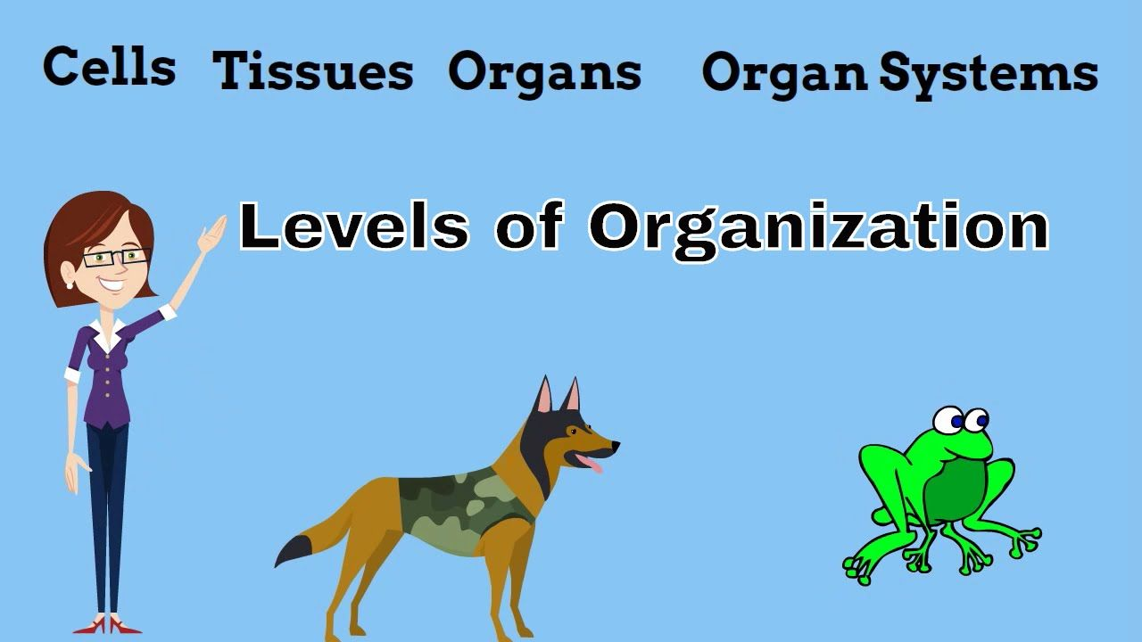 Cells Tissues Organs Organ Systems Levels Of Organization Multicellular Organisms Have Levels Of Classification Teaching Cells Cells And Tissues Organ System