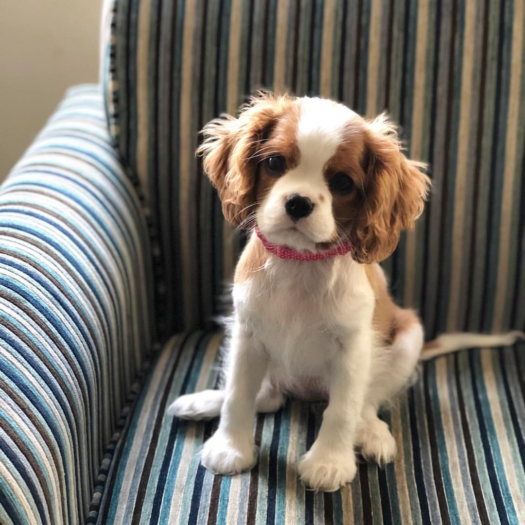 13 Week Old Blenheim Cavalier King Charles Spaniel Puppy