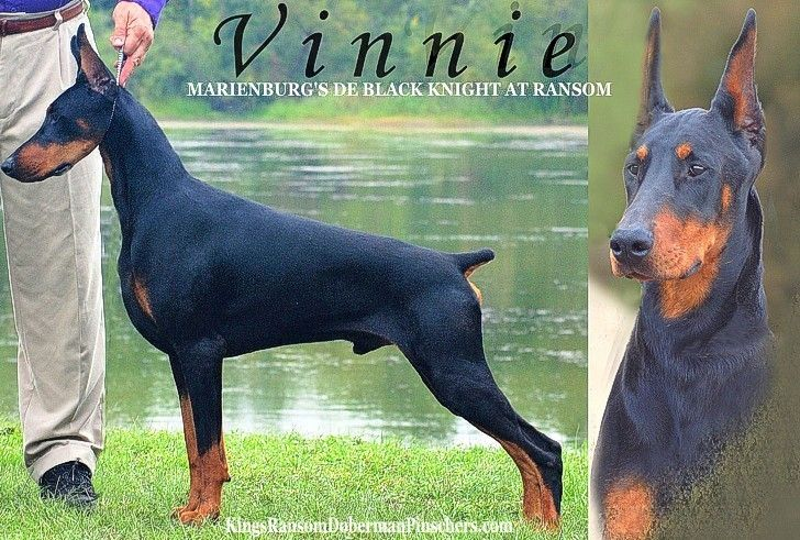 Marienburg S De Black Knight At Ransom Vinnie Doberman Dogs