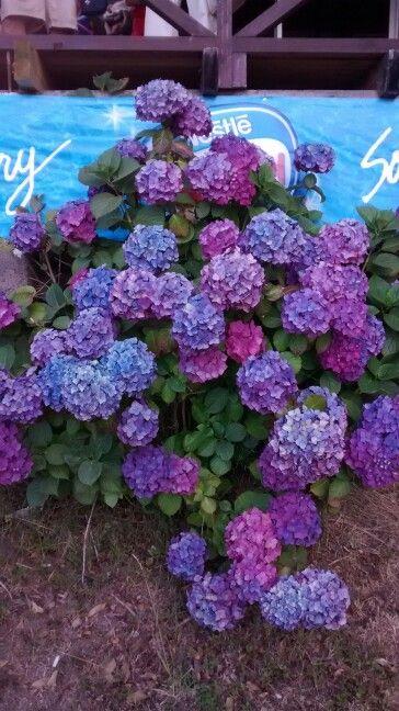 Muchos colores Hortensias