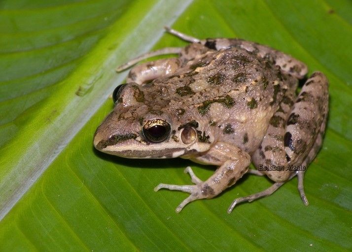 [][][] FAMILY LEPTODACTYLIDAE. Mexican White Lipped Frog.