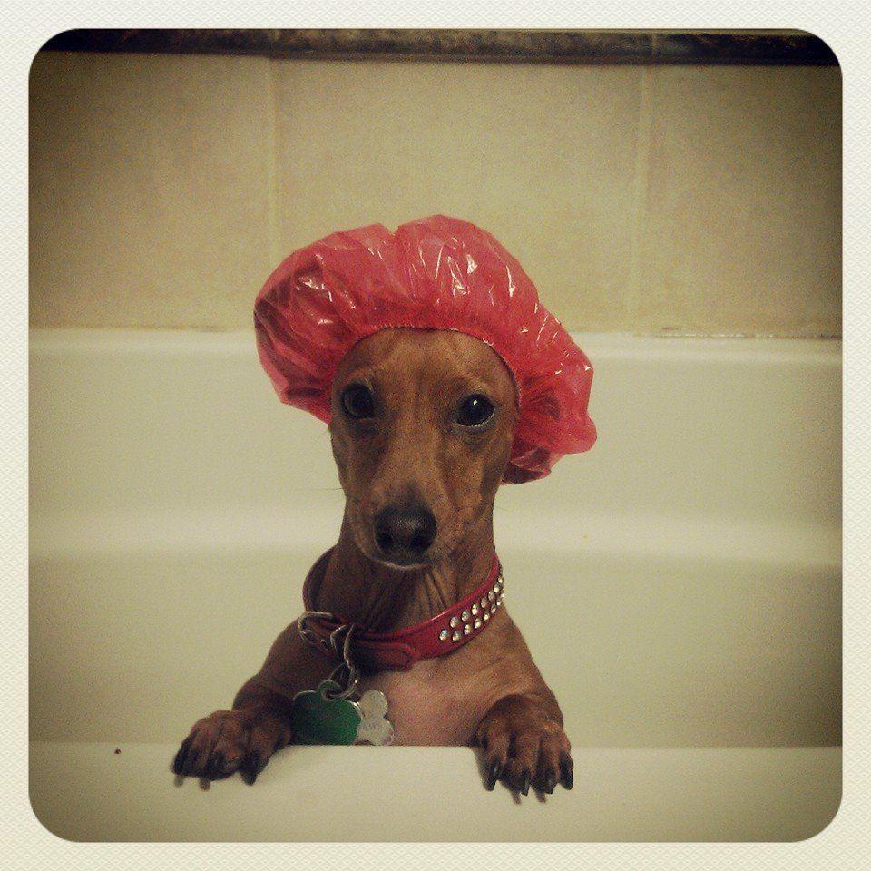 NOOOOOOO POR FAVOR Funny dachshund, Dachshund love