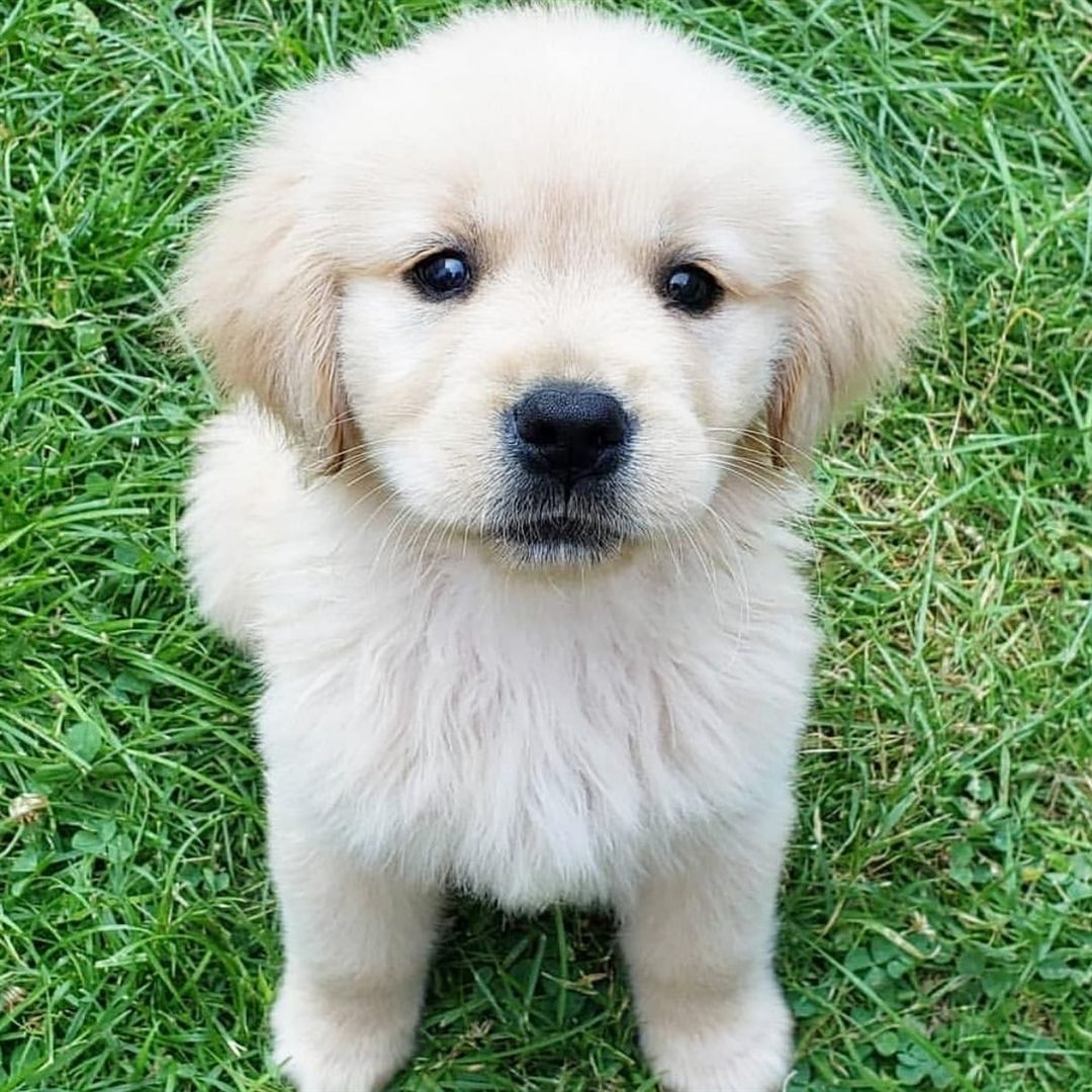 Daily Retriever 10 8 19 Thanks To Zoes Golden Adventures Use In Your Pictures To B White Labrador Puppy Labrador Retriever Facts Labrador Retriever Puppies