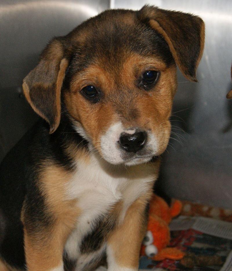 Adopt skeeter on dog adoption dogs beagle