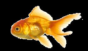 Fish Png Image Free Download Goldfish Fish Golden Fish