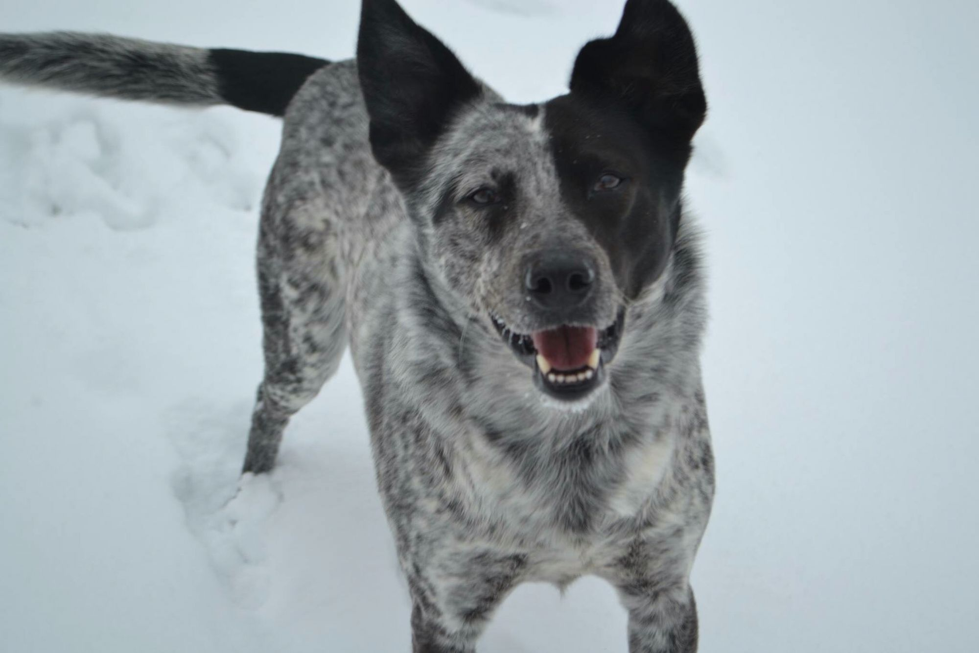Blue Heeler Black Lab Mix Blue Heeler Cattle Dog Australian