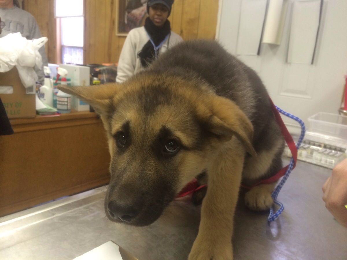 Met This Terrified German Shepherd Pup At A Shot Clinic This
