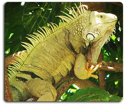 The Iguana Is Native To Central And South America They Are Usually Very Calm Animals But When Cornered By A Threat Will Extend Display
