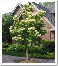 Superb Japanese Lilac Tree 229×260 Pixels