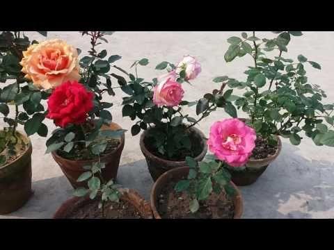 Techniques In Rose Farming Paadi Pantalu Youtube Gambar Bunga Bunga Tanaman