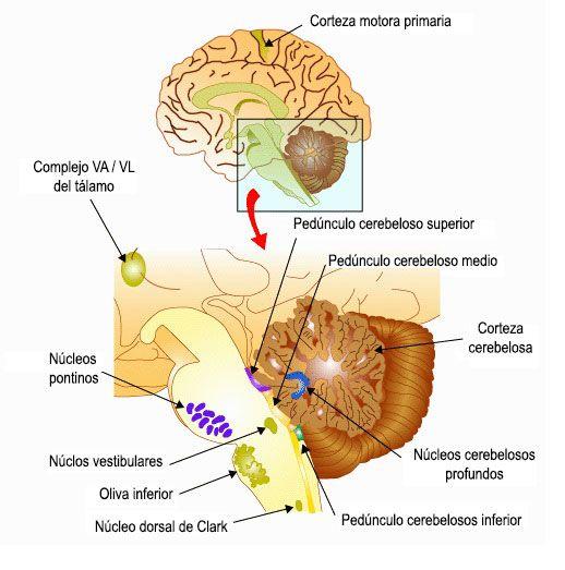 El cerebelo: organización y función | Anatomía y fisiología ...