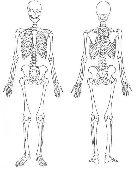 Sistema Esqueletico Para Colorear Body Bones Human Skeletal System Human Anatomy Drawing