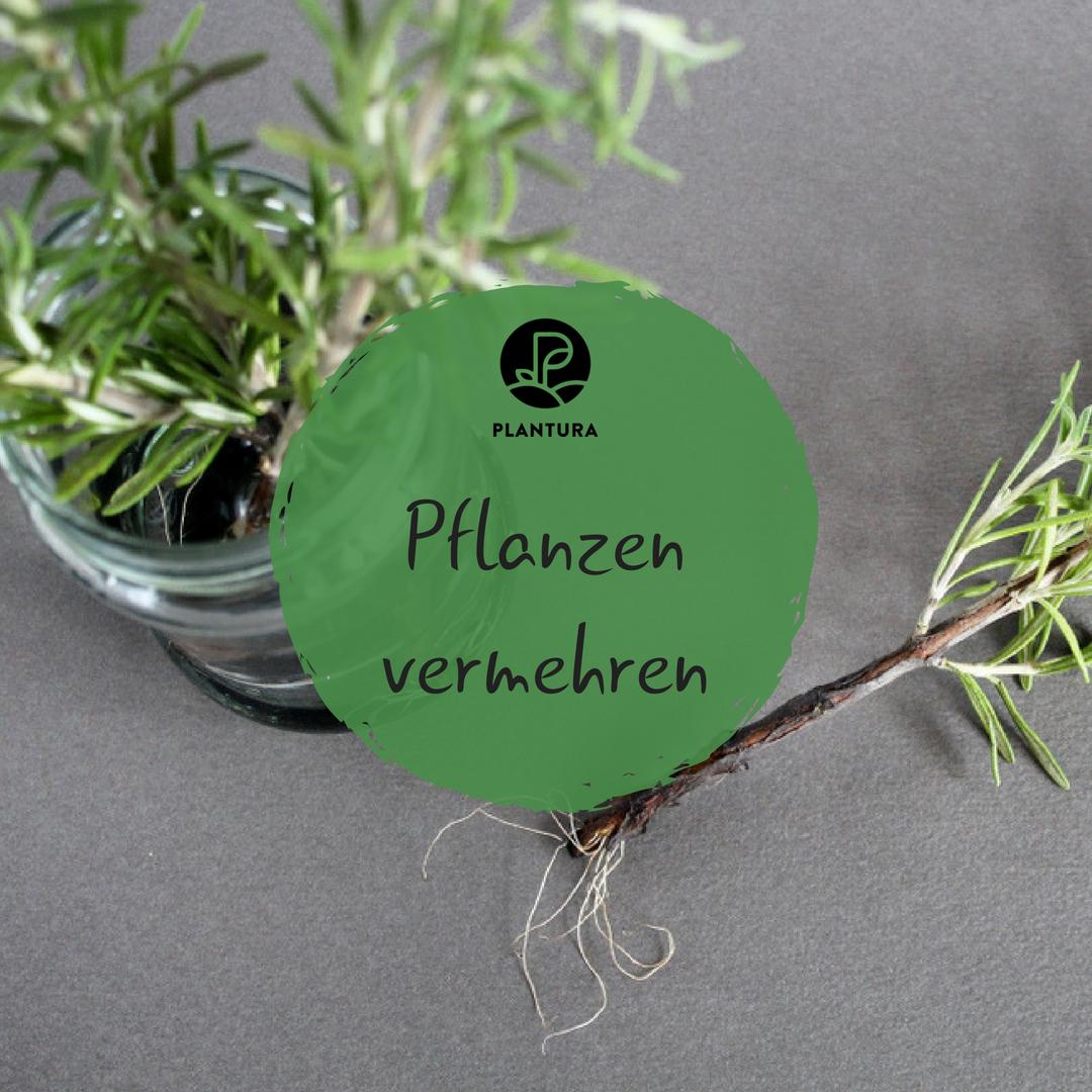 10 Pflanzen Die Man Leicht Durch Stecklinge Vermehren Kann