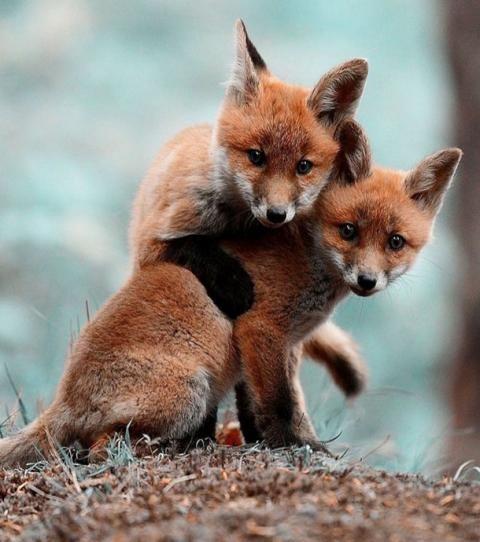 Top 10 de renardeaux beaucoup trop mignons !