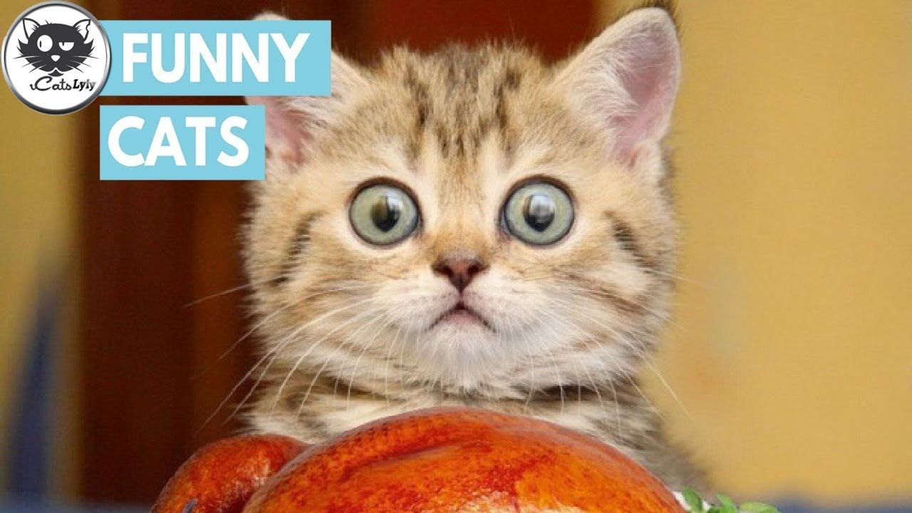 CATS will make you LAUGH YOUR HEAD OFF Funny CAT