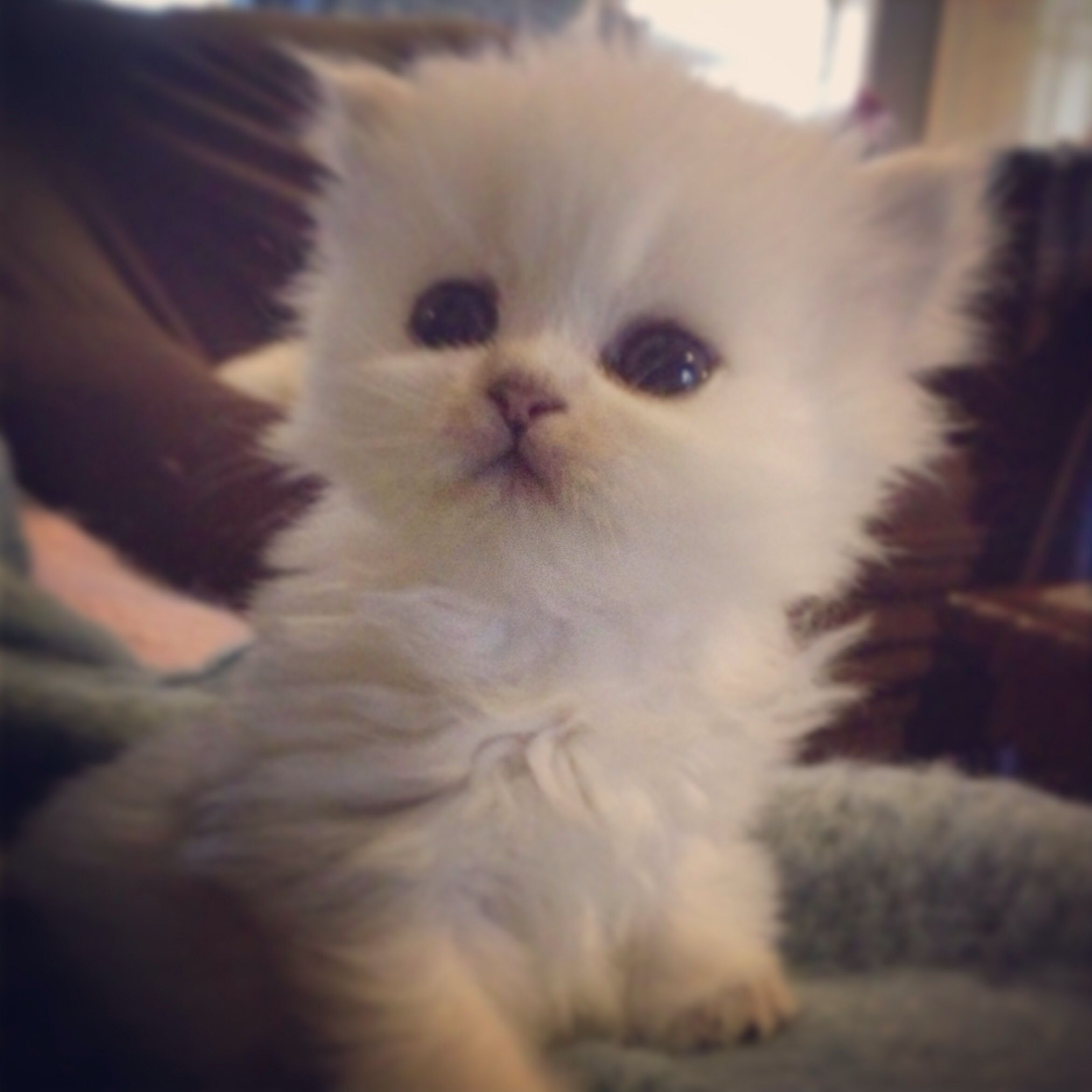 Kismet Kittens Is Proud To Announce That We Just Had A New Litter Of Teacup Doll Face Silver Shaded Kittens Persian Cat Doll Face Animals Beautiful Persian Cat