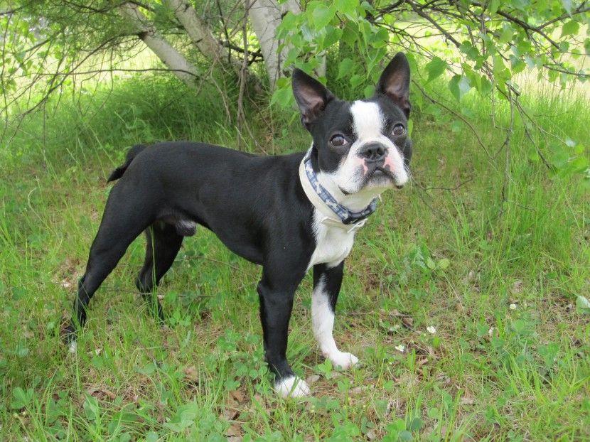 8204c95a64d Bostonský teriér. Bostonský teriér Boston Terriers ...