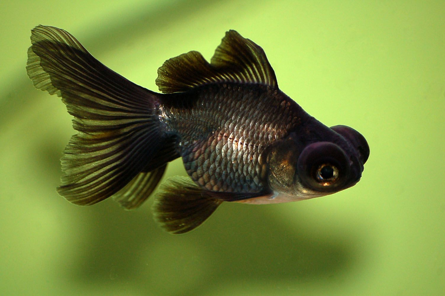 Black moor is a telescope eyed variety of fancy goldfish for One eyed fish