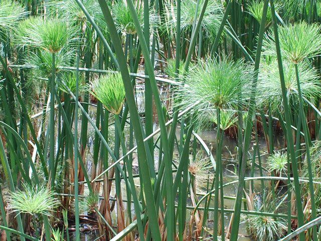egyptian papyrus pictures  | papyruspflanze in natur | Papyrus-BlogPapyrus-Blog