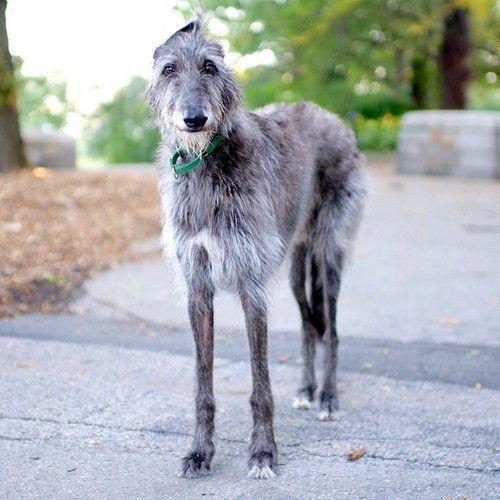 Hamlet, Scottish Deerhound (8 y/o), Riverside Park, New York, NY//the dogist